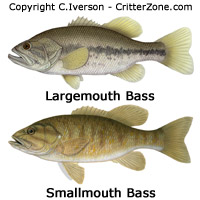 illustration, art, drawing, largemouth bass, smallmouth bass
